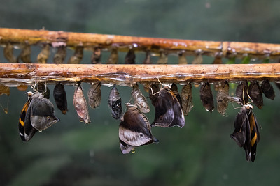 Butterfly Pupae