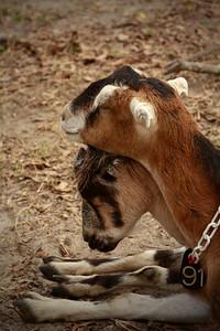 goat 12