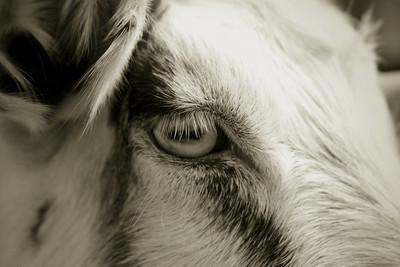 goat 14