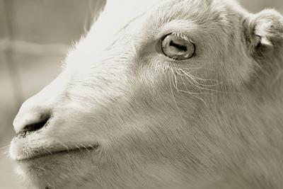 goat 08
