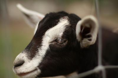 goat 04