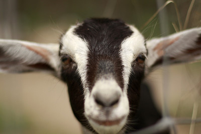 goat 05