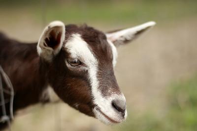 goat 07