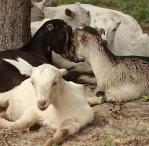 goat 11