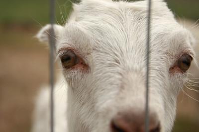 goat 15