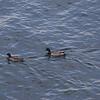 [DSC_1471] Ducks in Lake Geneva.