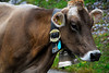 Swiss Cow with Bell - Klaussen Pass, Switzerland