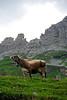 Swiss Cow yoddeling - Klaussen Pass, Switzerland