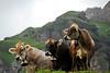 Swiss Cows - Klaussen Pass, Switzerland