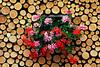 Geraniums in cut wood wall - Murren, Switzerland