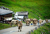 Children herding Swiss Cows - Klausen Pass, Switzerland
