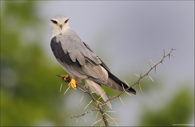 Black Winged Kite....