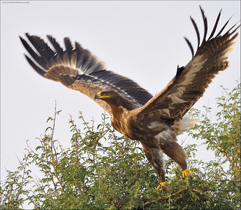 Steppe Eagle - take off....