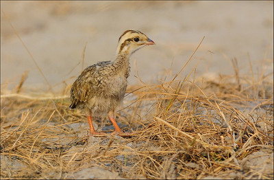 Grey Francolin - chick