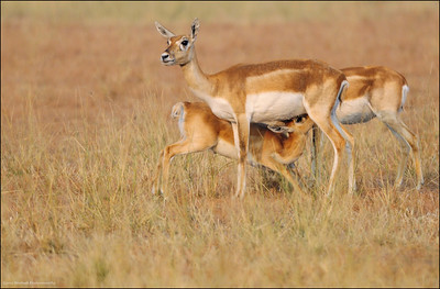 A tender moment  - Blackbucks