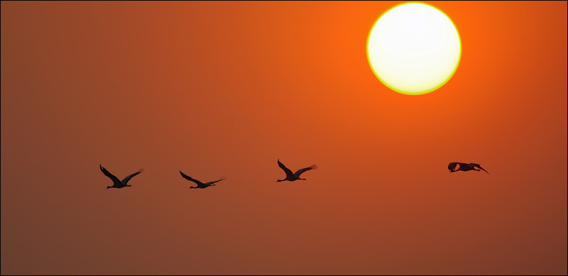 A Demoiselle Cranes' Sunset......