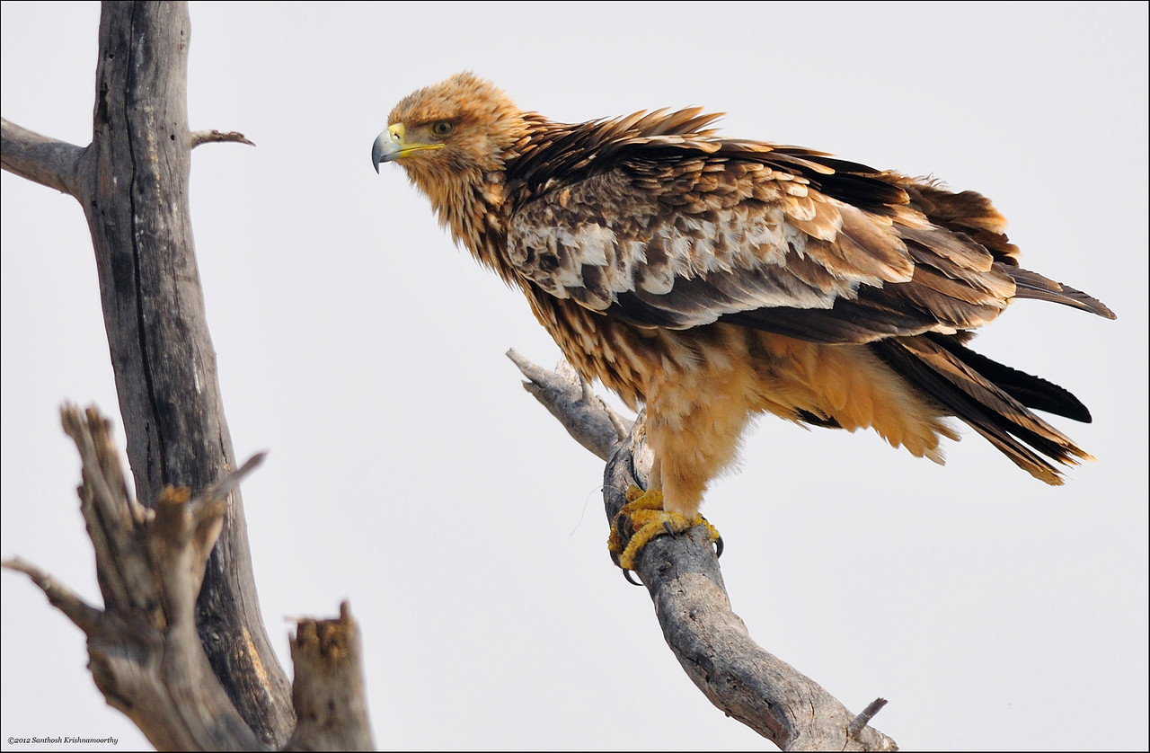Eastern Imperial Eagle...
