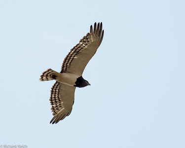 Black-chested Snake Eagle