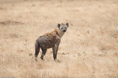 Spotted Hyaena, Ngorongoro Crater