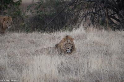 Lions, Ngorongoro Crater