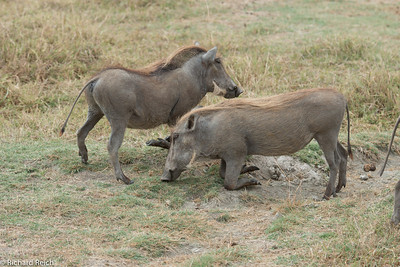 Wart Hog, Ngorongoro Crater