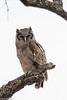 Verreaux's Eagle-Owl, Serengeti
