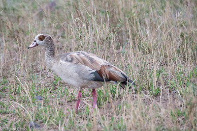 Egyptian Goose, Serengeti