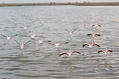 Flamingos in the Serengeti