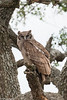 Verraux's Eagle-Owl, Serengeti. This owl is Africa's largest owl and is the world's 3rd heaviest living owl. They eat medium sized mammals including monkeys, hedgehogs, hyraxes; also larger birds, reptiles, frogs, invertebrates, fish and even carrion.