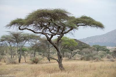 Acacia Tree in the Serengeti
