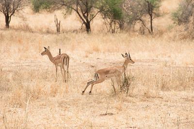 ImpalaTarangire National Park