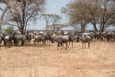 WildebeestTarangire National Park