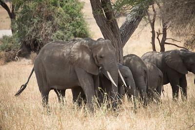 ElephantsTarangire National Park