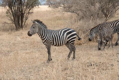 ZebraTarangire National Park