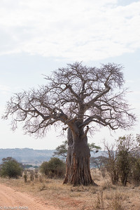 Baobab tree can have a trunk diameter of 23-36 feet and hold up to 120,000 liters of water. Mature trees are usually hollow, providing living space for many animals and humans.