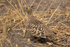 Ganga Moruna/Chestnut-Bellied Sandgrouse (Hembra/Female)