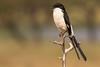 Alcaudón colilargo/Long-tailed Fiscal (Lanius cabanisi)