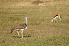 Avutarda Kori en el Serengeti