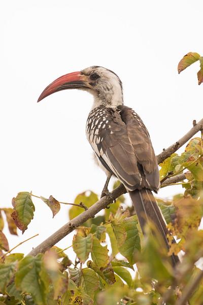 Toco piquirrojo/Red-Billed Hornbill