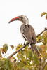 Toco piquirrojo/Red-Billed Hornbill