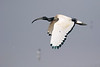 Ibis sagrado/Sacred Ibis