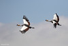 Grullas coronadas. Grey Crowned-Crane (Balearica regulorum)