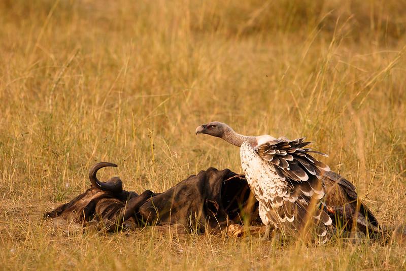 Buitre moteado o de Rupell/Rüppell's Vulture