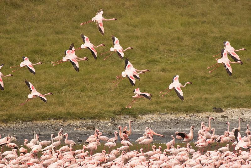 Flamenco enano/Lesser flamingo