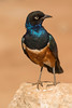 Superb Starling/Estornino soberbio