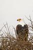 Pigargo vocinglero africano. African Fish Eagle (Haliaeetus vocifer)