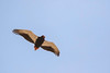 Águila volatinera/Bateleur