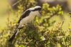 Alcaudón dorsigris (Lanius excubitorius)