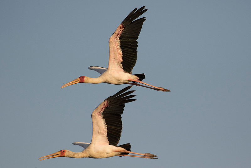 Tántalo africano o Cigüeña de pico amarillo/Yellow-billed Stork