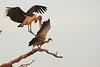 Marabú expulsando a un Buitre de Rueppell en río Mara